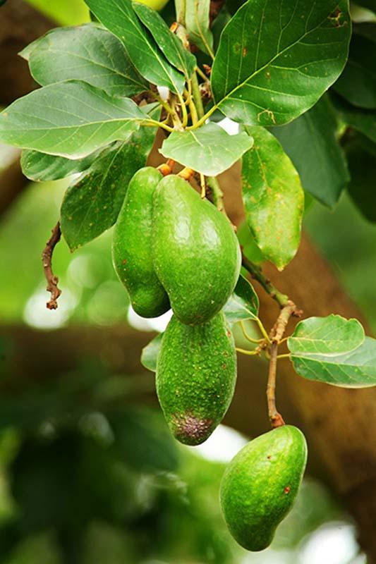 Avocados, Ruanda