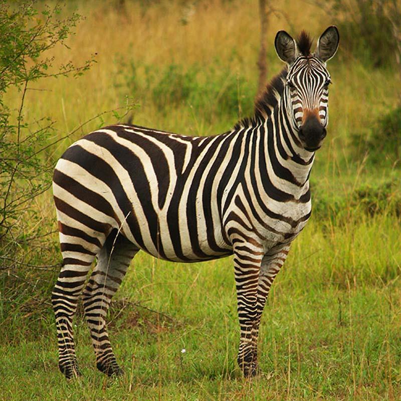 Ein Zebra, Akagera Nationalpark, Ruanda