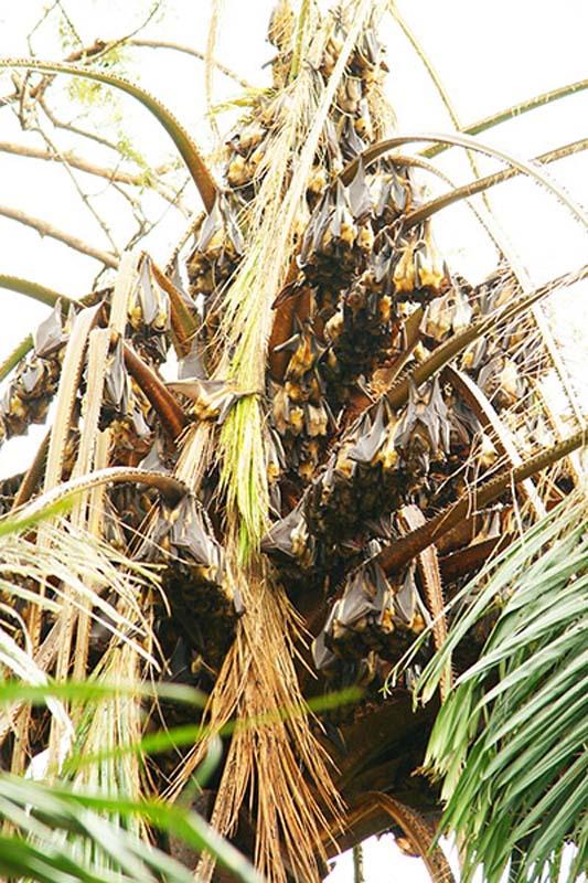 Flughunde auf einer Palme, Gisenye, Ruanda
