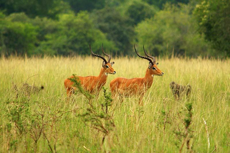 Impalas, Akagera Nationalpark, Ruanda