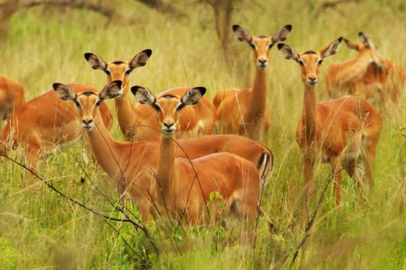 Impalas, Akagera Park, Ruanda
