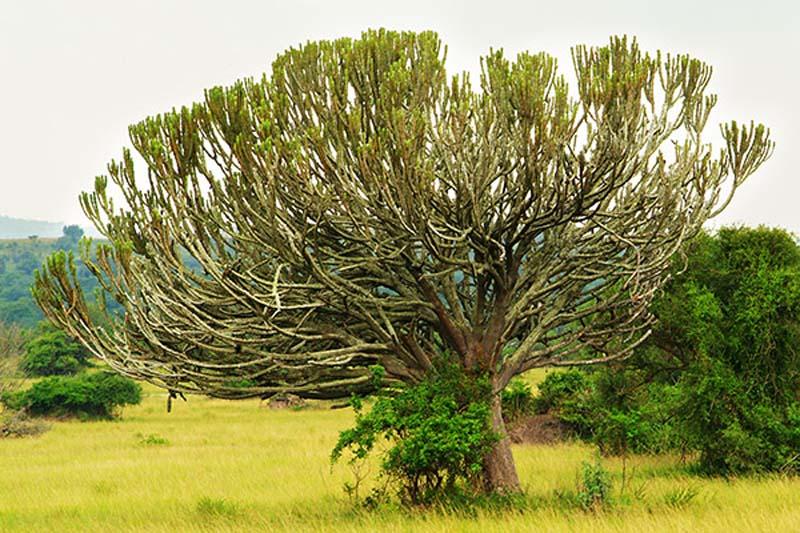 Irgend so ein Baum, Akagera Park, Ruanda