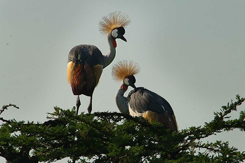 Kraniche, Akagera Nationalpark, Ruanda