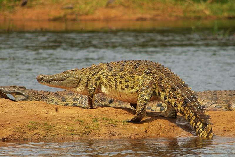 Krokodile, Akagera Nationalpark, Ruanda