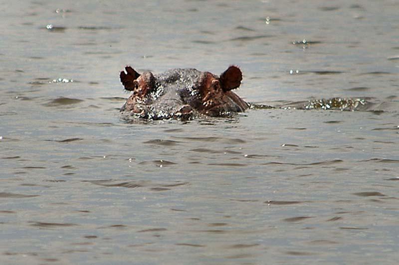 Nilpferd im Wasser, Akagera Park, Ruanda