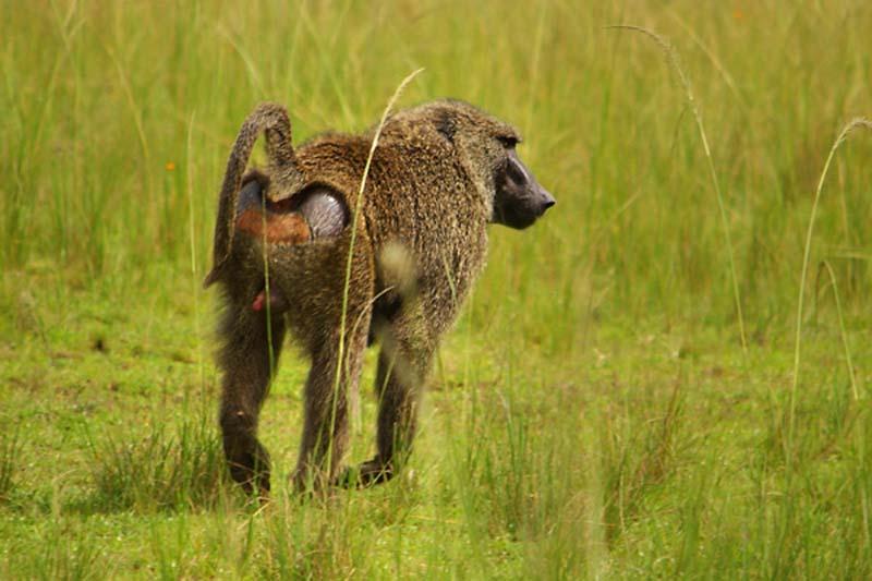 Pavian, Akagera Nationalpark, Ruanda
