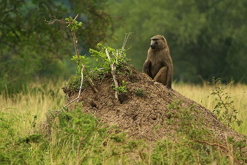 Pavian, Akagera Park, Ruanda