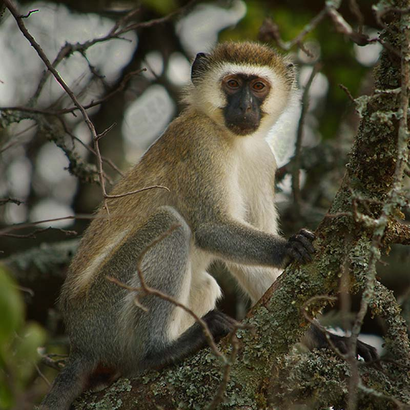 Vervet Monkey, Akagera Nationalpark, Ruanda