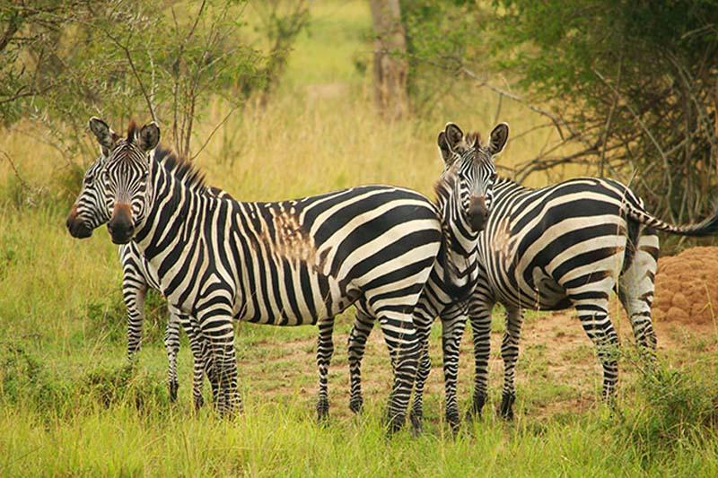 Zebra Gruppe, Akagera Nationalpark, Ruanda