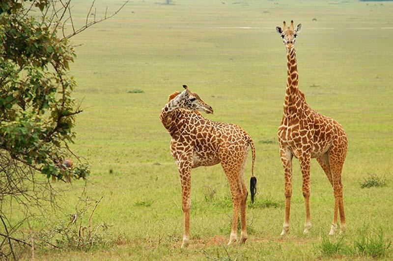 Zwei Giraffen, Akagera Nationalpark, Ruanda