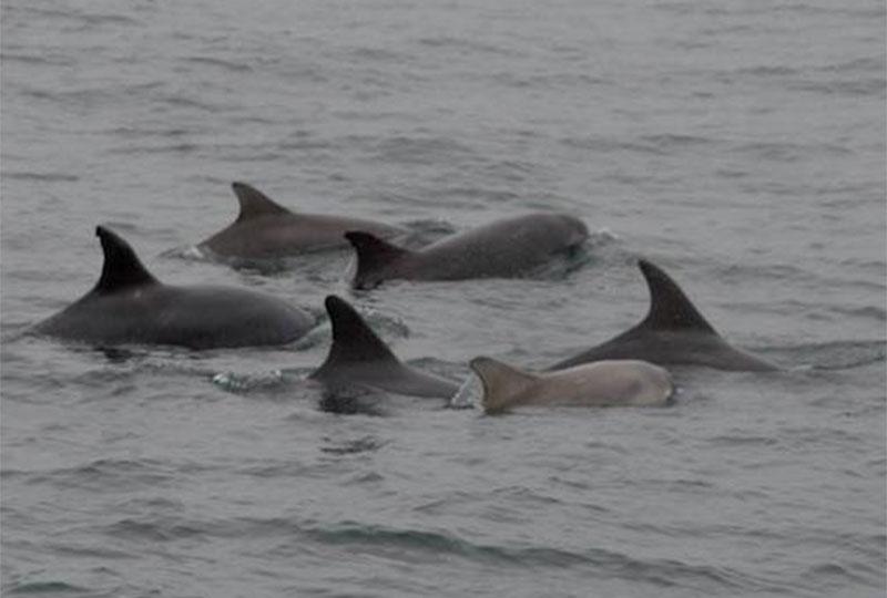 Delfine-nahe-Kilkee